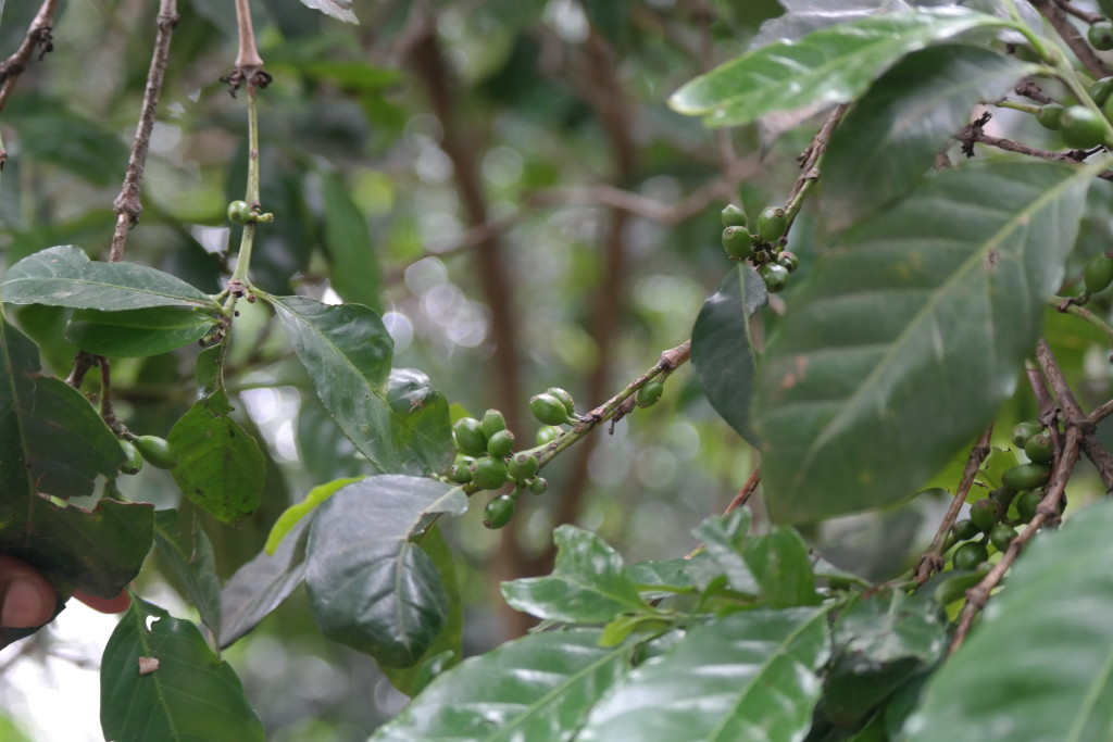 Coffee beans growing in Bahir Dar, Ethiopia